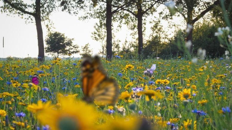vlinder aantrekkend bloemenmengsel