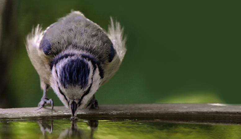 vogel drinkt uit vogelbad