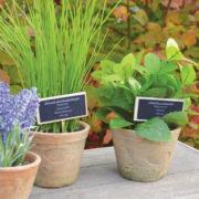 Lavender in AT pot S